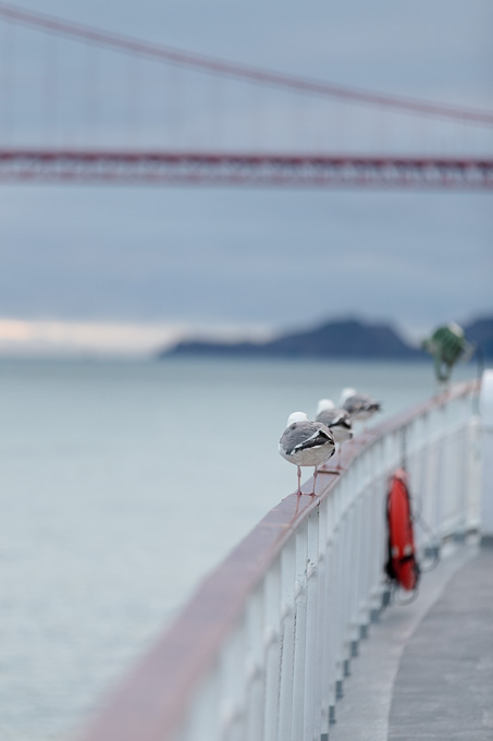 Row of cute pigeon butts lined up on the railing of the California Hornblower cruise ship near the Golden Gate Bridge