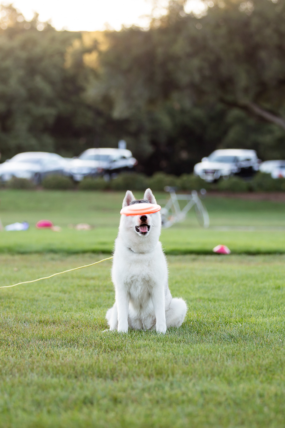 Hilarious moment - husky missed the frisbee!