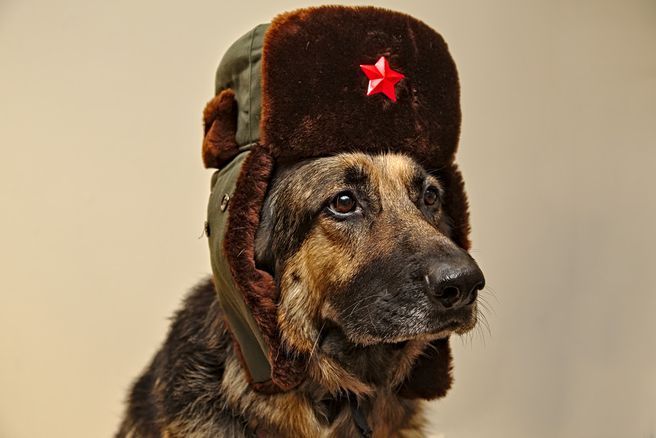 Our loyal comrade the Communist German Shepherd Dog wearing a Soviet hat looking sharp