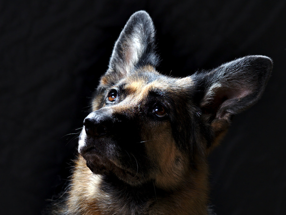 A cute, confused, and beautiful German Shepherd with Rembrandt lighting on the side of her face