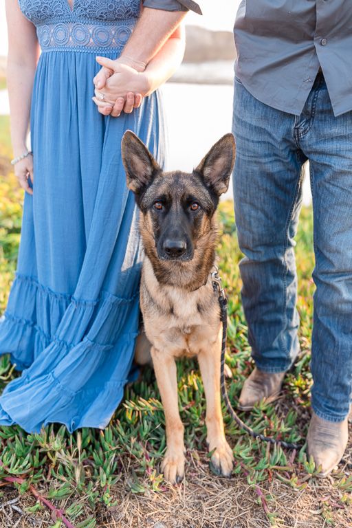 German Shepherd puppy in Bay Area engagement photo