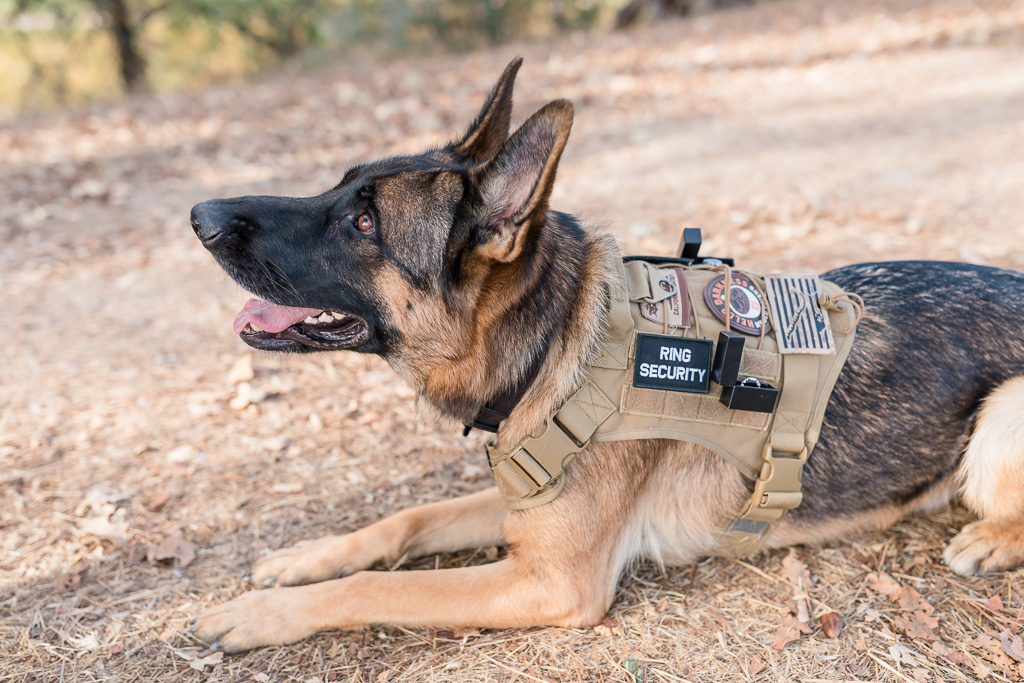 German Shepherd the handsome ring bearer with a customized vest and ring boxes