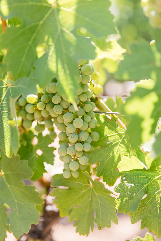 wine grapes on the vine at a winery